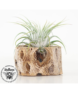 Air Plant Cholla Magnet - Wedding, Guests, Office, Dorm, Cubicle, Gift, ... - $5.00