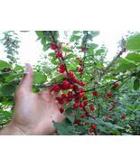 LIVE PLANT Nanking cherry tree seedling large bush shrub edible fruit LI... - $59.99