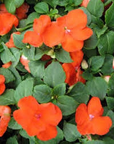Primary image for 50 Impatiens (Walleriana Baby) Orange Seeds