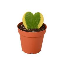 "Hoya Sweetheart Variegated - 4"" Pot - Houseplant - Garden - Outdoor Living - D11 - $35.99"