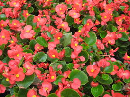 Wax Begonia Seeds Red Begonias Heirloom Flower Seeds Non-Gmo Annual, 75pcs - $8.99