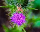 Grasshopper Stares From Perch on Purple Thistle Weed Flower Digital Art Photo