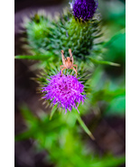Grasshopper Stares From Perch on Purple Thistle Weed Flower Digital Art Photo - $2.00