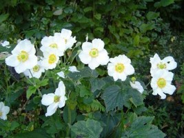 Ship From 5 Madonna Anemone Sylvestris White & Yellow Flower SBR4 - $11.99