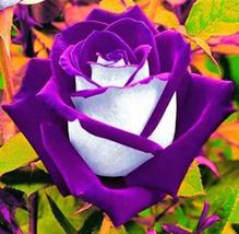 Rose Bonsai Purple Rose with White Red Edge Bonsai Beautiful 100 Pcs/Bag - $10.62