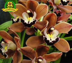 100PC SEED Rare Cymbidium orchid African Cymbidiums seed BROWN ORCHID A - $4.20