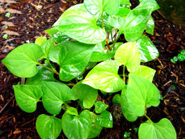 10 Live Bare Root Fish Mint Houttuynia Cordata Asian Herb Starter Plants... - $23.30