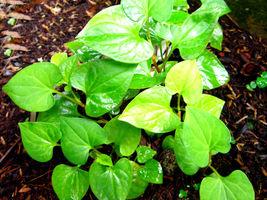 10 Live Bare Root Fish Mint Houttuynia Cordata Asian Herb Starter Plants... - ₹1,656.96 INR