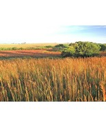 SHIPPED FROM US 20,000+INDIAN GRASS Prairie Clumping Ornamental Seeds, CB08 - $28.00