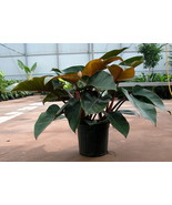 Philodendron Congo Rojo Premium Foliage Live Plant Fit 1 Gallon Pot - $9.89