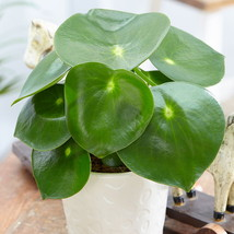 "3.75"" Pot - Raindrop Chinese Money Plant - Peperomia polybotrya - FREESH... - $52.00"