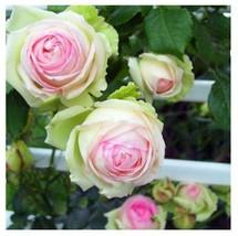 200pcs Climbing White Pink Rose Bonsai Rosa Multiflora Flower Seeds - $11.45