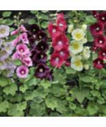 INDIAN SPRING MIX HOLLYHOCK FLOWER GARDEN 20-SEEDS -PERENNIAL HOLLY HOCK - $3.25