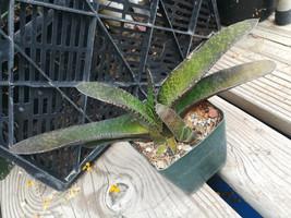 Gasteria Hybrid 124 Nature's Curiousity Shop (NCS) Succulent Plant - $14.80