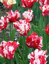 10 bulbs - Tulip parrot Estella Rynveld Flower 12/+cm - $18.99