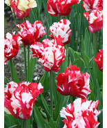 10 bulbs - Tulip parrot Estella Rynveld Flower 12/+cm - $28.99