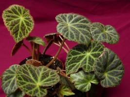 "Begonia Plant U606 4"" Pot Rhizomatous Rare Terrarium - $13.10"
