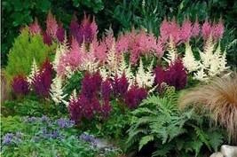 100 White Pink Purple Astilbe Seeds Bunter Shade Perennial Flower - TTS - $21.95