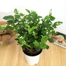 20seeds  Jasminum Sambac Bonsai Tree Potted Plants Planting Seasons Flow... - $2.88