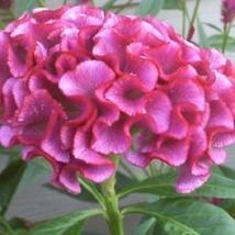 Ship From Us 30 Seeds Neon Rose Cockscomb Celosia Flower,Diy Sb Flower Seeds - $27.99