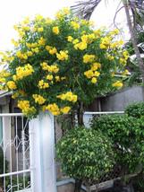 7 Yellow Trumpet Bush Seeds-1137B - $2.98