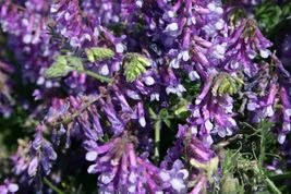 SHIP From US, 50 Seeds Hairy Vetch Seeds, DIY Healthy Vegetable AM - $30.99