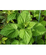 2 LIVE Stinging Nettle PLANTS (Urtica dioica) +  2 Grams of nettle seeds - $22.00