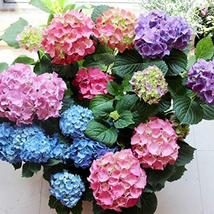 50pcs Very Graceful Bonsai Hydrangea Mixed Climbing Hydrangea Flowers Seeds IMA1 - $15.99
