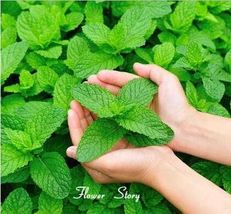 100 seeds apple mint organic herb medicinal aroma Chinese herb seeds home garden - $7.00