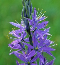 30+ CAMAS BOLD BLUE PERENNIAL FLOWER SEEDS / GREAT FOR BOUQUETS - $4.89