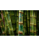 Bamboo Stalks, in Maui, Fine Art Photos, Paper, Metal, Canvas Prints - $40.00 - $442.00
