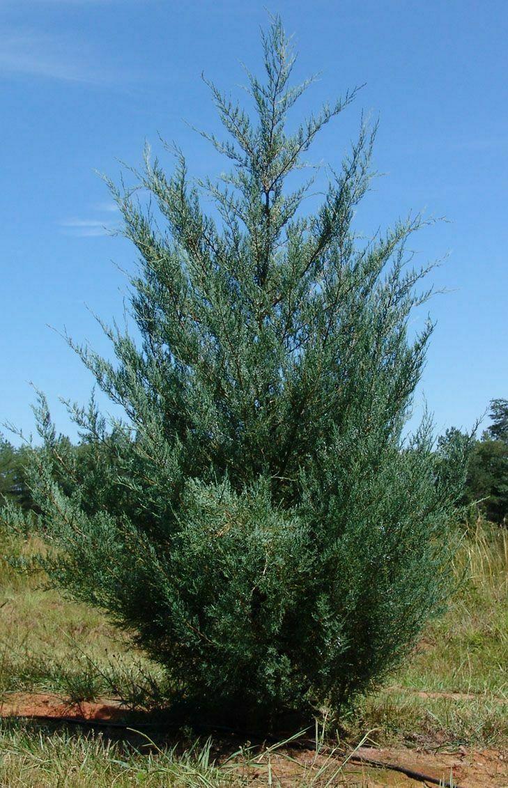 Burkii Juniper Eastern Red Cedar gallon pot