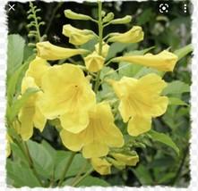 "Native Esperanza Tecoma Stans Yellow Mayan Gold 4"" Pot Zones 8-11 USA - $34.40"