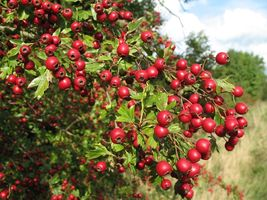 Single Seed English Hawthorn, Crataegus monogyna, 20 Tree Seeds (Showy, Hardy) - $11.40