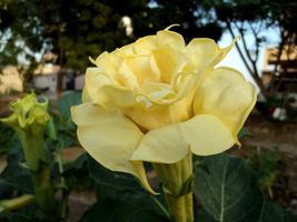 Angel trumpet   double yellow   1 thumb200