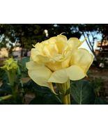 "Angel Trumpet - Double Yellow -  ""Datura Fastuosa D. metel Solanaceae"" 1... - $9.45"