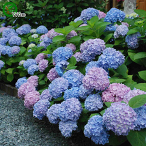30 Particles / lot Flower Seeds Beautiful Hydrangea seeds - $4.76