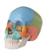 3B Scientific A291 22 Part Beauchene Adult Human Skull Model, Didactic C... - $329.95