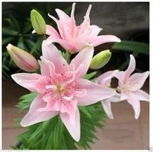 Beautiful Rare Pink Perfume Lily Bulbs Bonsai Flower DIY Home Garden - $5.45