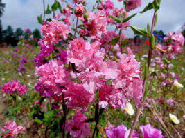 SHIP From US, 25 Seeds Mountain Garland (Clarkia), DIY Healthy Vegetable AM - $18.99