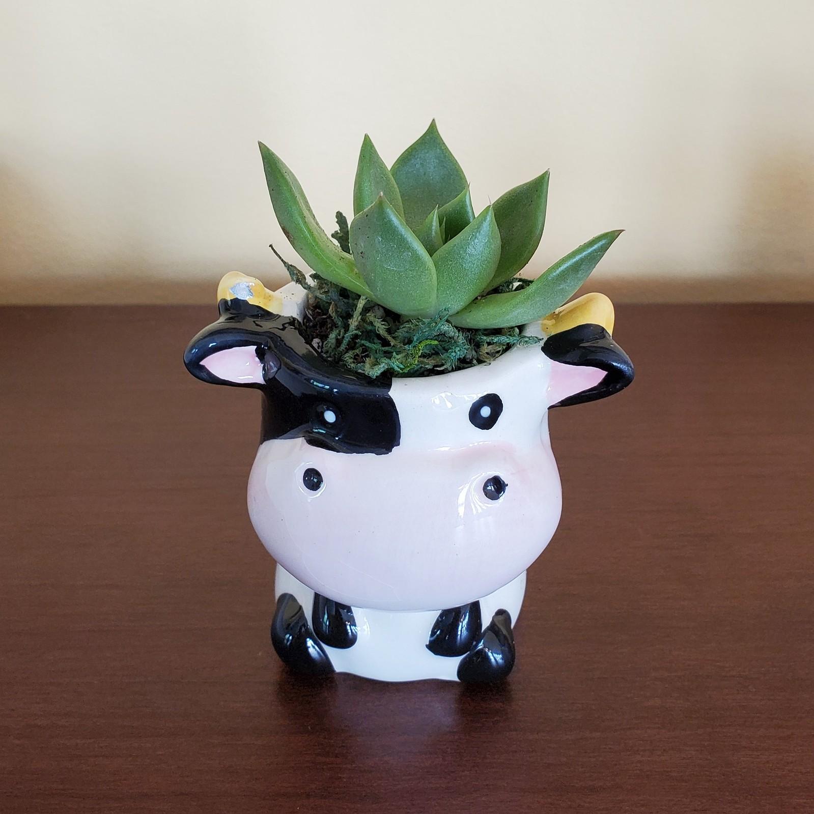 Cow echeveria 1