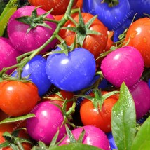 ZLKING 100pcs Mixed Colorful Sweet Tomato Small Red Blue Pink Fruit Vege... - $2.69