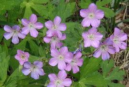 20 Bulbs - Wild Geranium - Geranium Maculatum - $36.95
