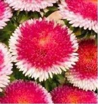 Ship From Us 30 Seeds Red Pom Pom Aster Perennial Flower,Diy Sb Flower Seeds - $27.99