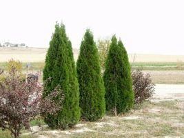 "EMERALD GREEN Arborvitae 3"" pot (Thuja occidentalis) image 3"