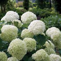 Full Gallon Pot Incrediball Smooth Hydrangea Live Plant  - $79.99
