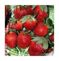 Jewel Strawberry Fruit Plant Seed 100 Stratisfied Berry Plant Seeds - $7.06