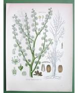 GUM AMMONIAC Medicinal Plant Dorema Ammoniacum - COLOR Litho Botanical P... - $16.83