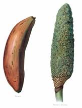 Vintage Fruit Prints: Banana - Fruit Growers Guide - 1880 - $12.95+