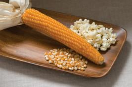 50 Yellow Popcorn Seeds Heirloom 2019 ( $3.00 Max Shipping! ) - $4.32
